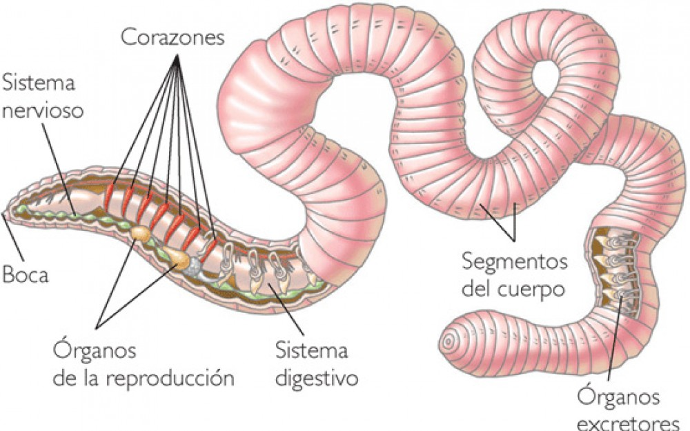 Partes de la lombriz - Partes internas y externas