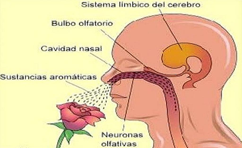 Partes del sentido del olfato