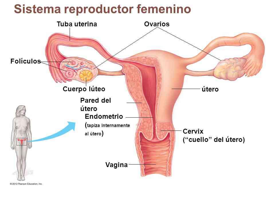 Parte del útero