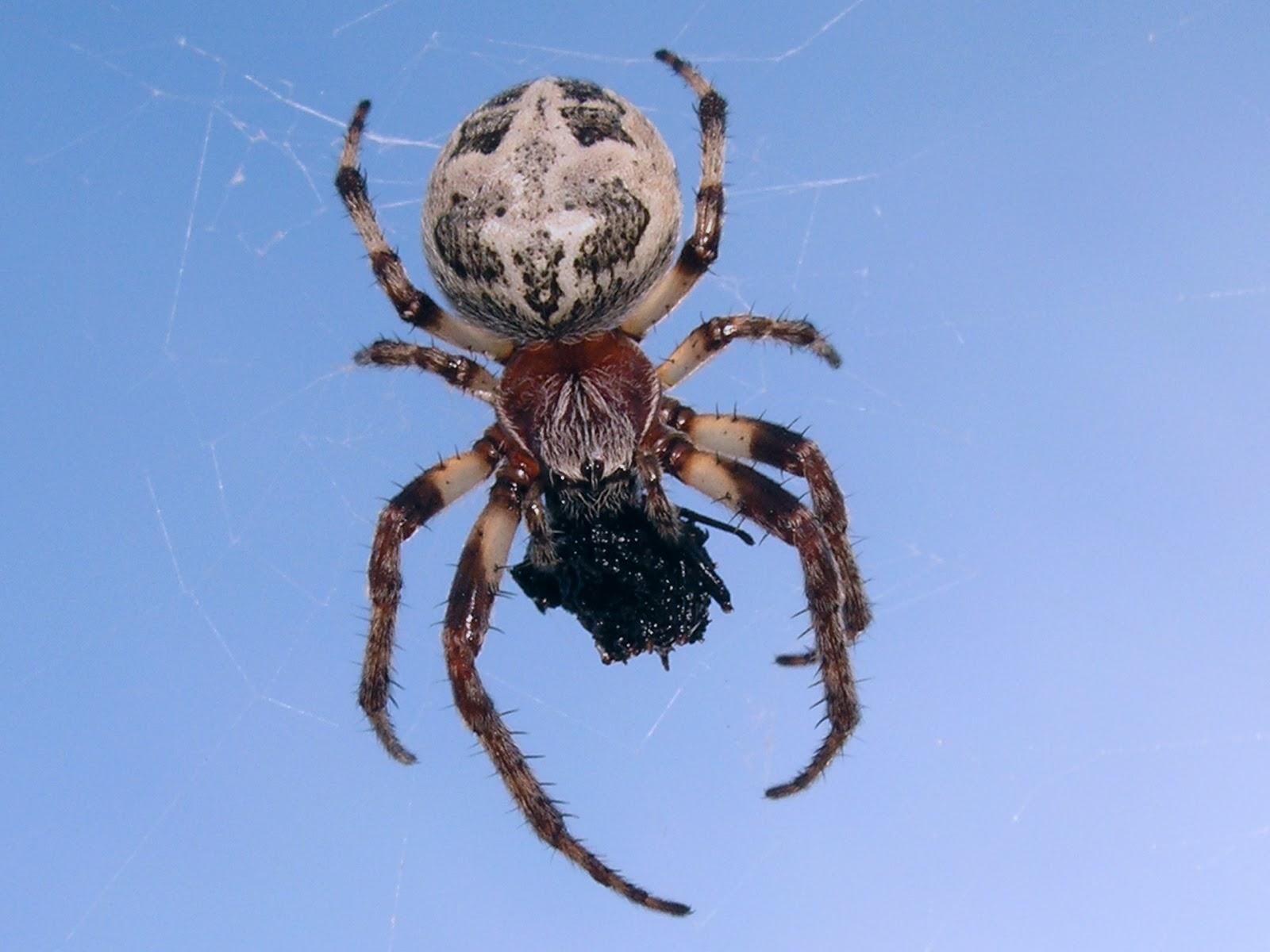 Partes de la araña