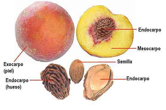 Partes del fruto