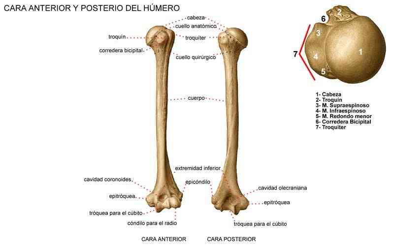 Partes del hueso largo