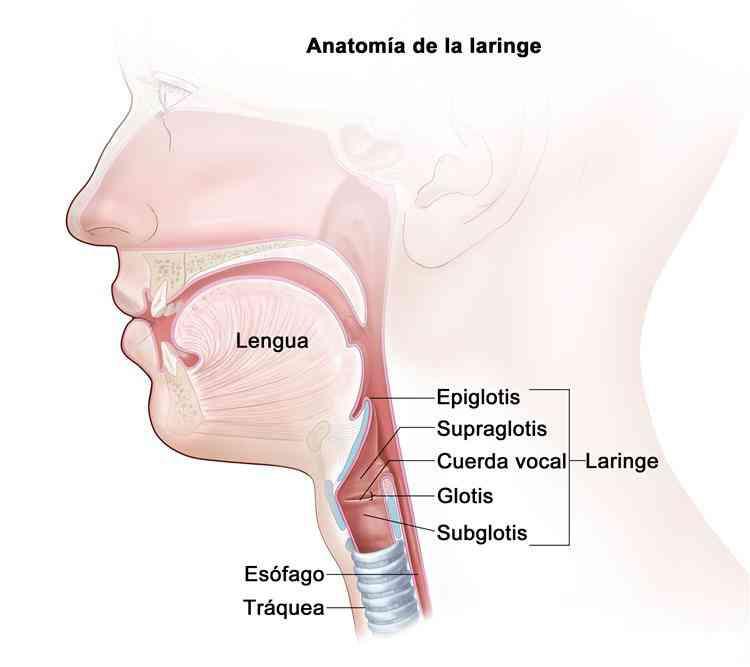 Partes de la garganta