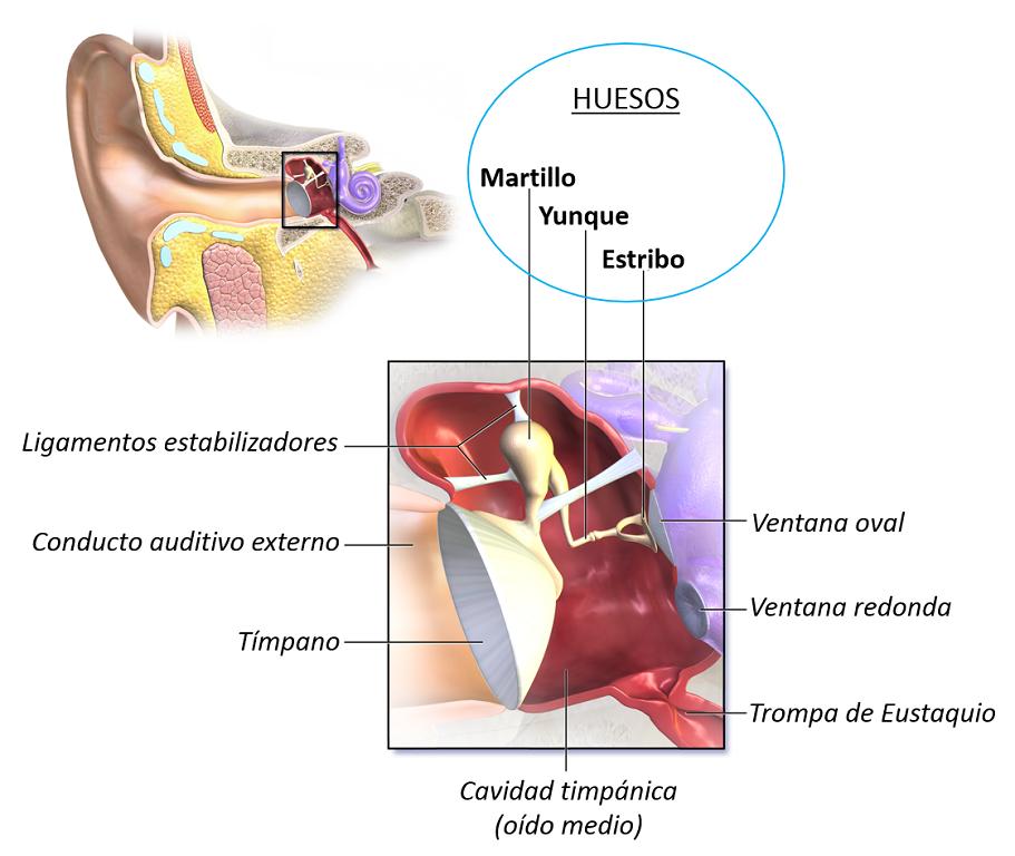 Partes del oído medio
