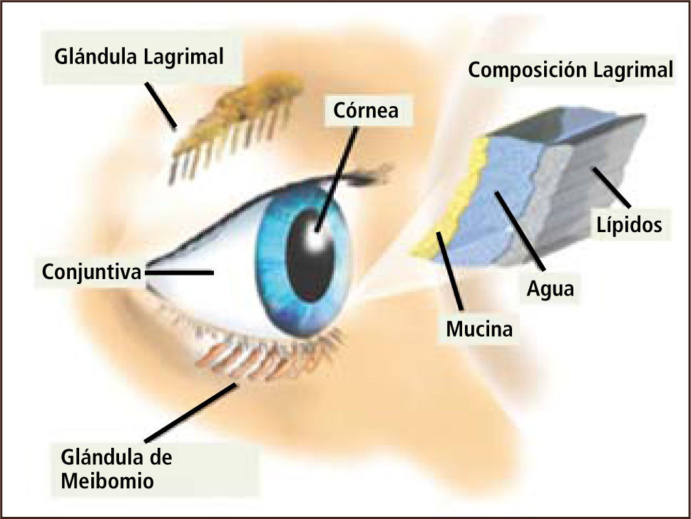 Partes externas del ojo