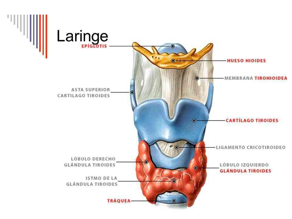 Partes de la laringe
