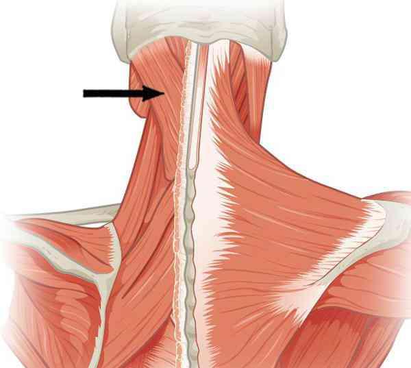Partes del cuello