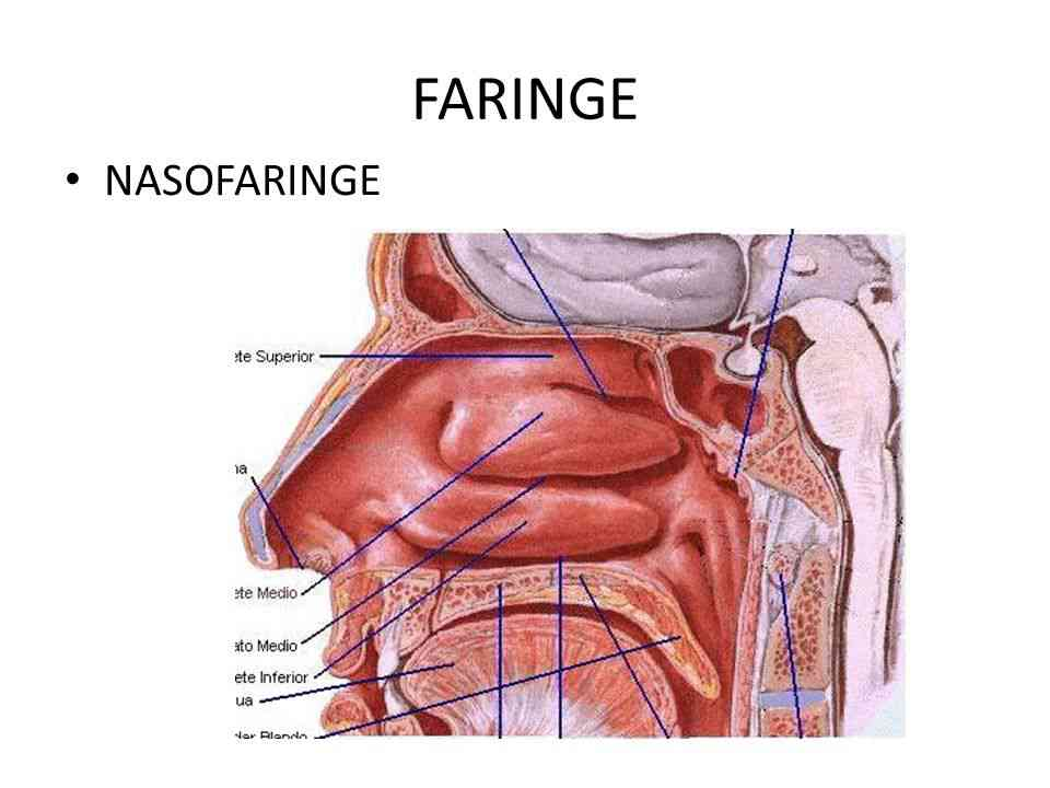 Partes de la faringe