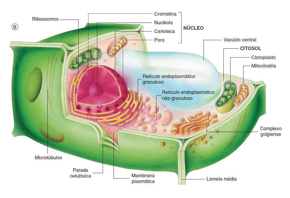Partes De La Célula Vegetal