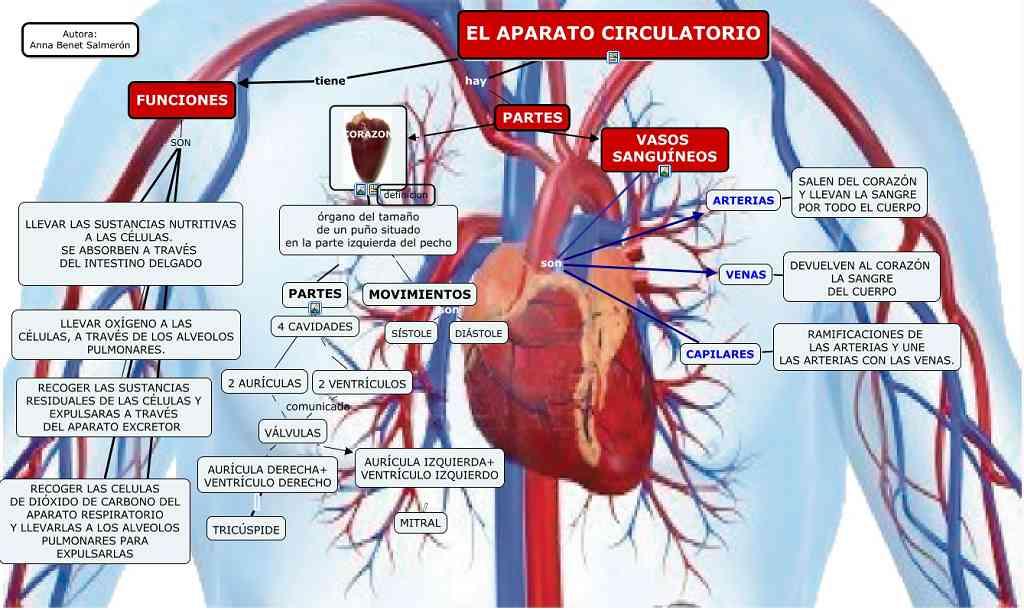 Partes del aparato circulatorio