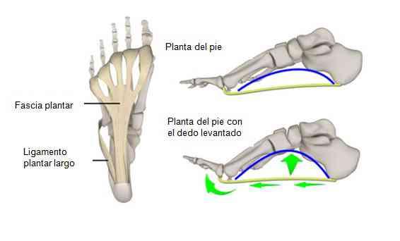 Partes De La Planta Del Pie
