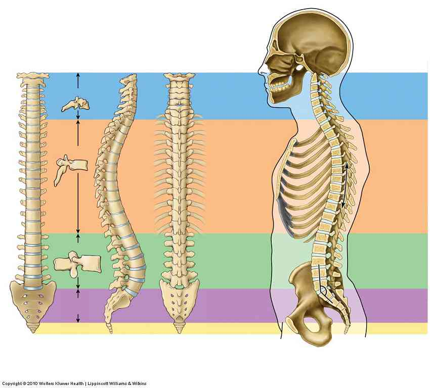 Partes de la vertebra