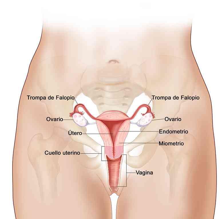 Partes del aparato reproductor femenino