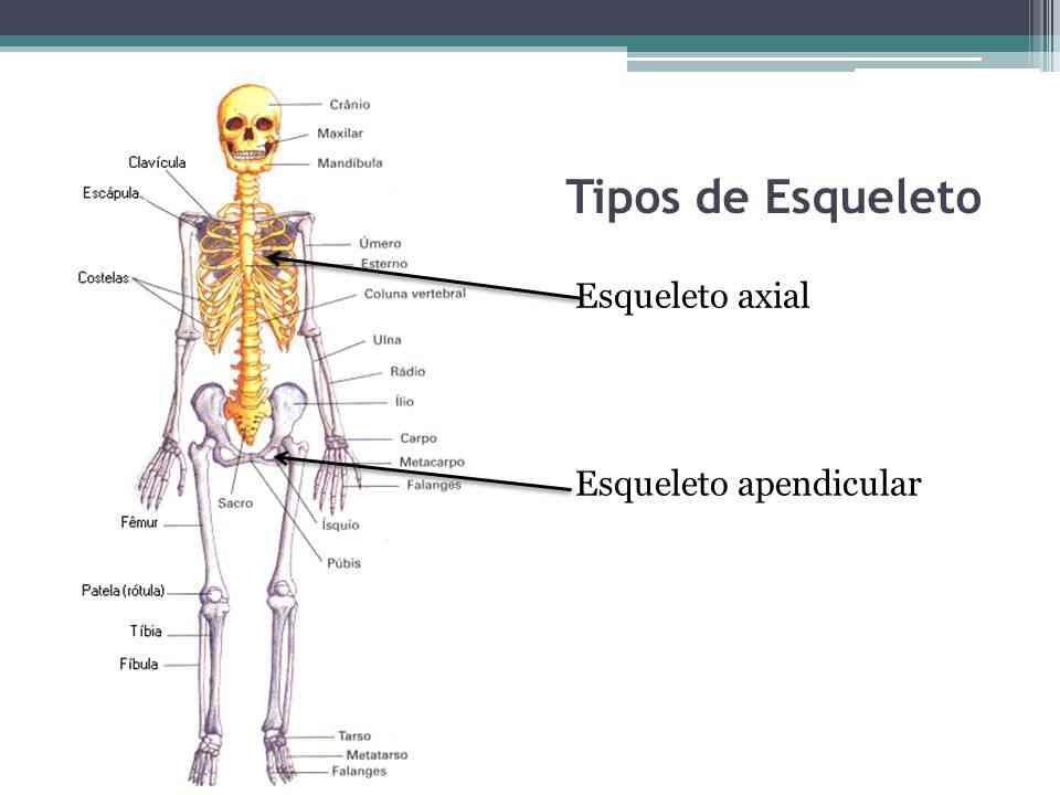 Cuales son las partes del esqueleto axial?