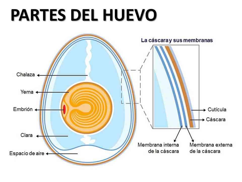 Partes del huevo