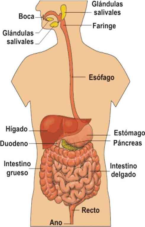 Partes del tubo digestivo