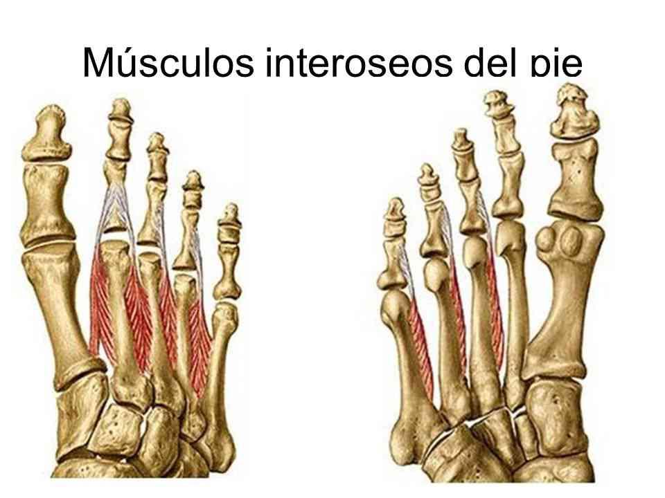 Contemporáneo Pie Anatomía ósea Elaboración - Anatomía de Las ...