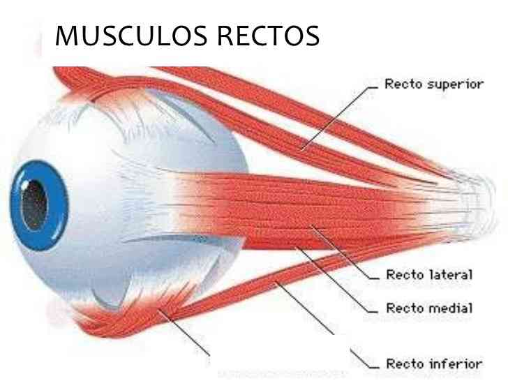 Partes del ojo humano
