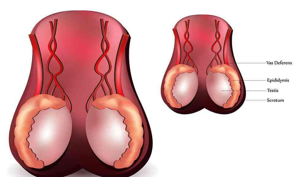 Partes del sistema reproductor masculino