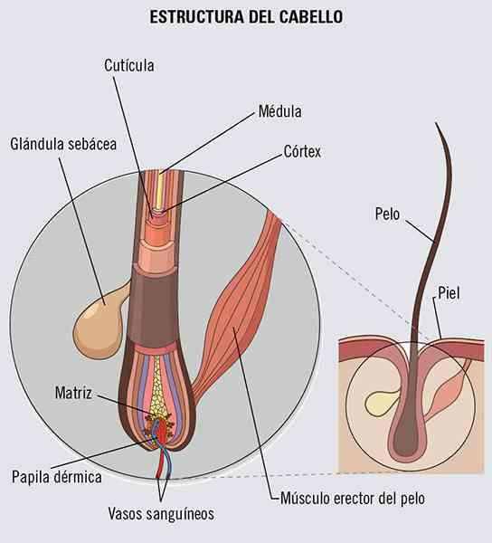 Partes Del Cabello