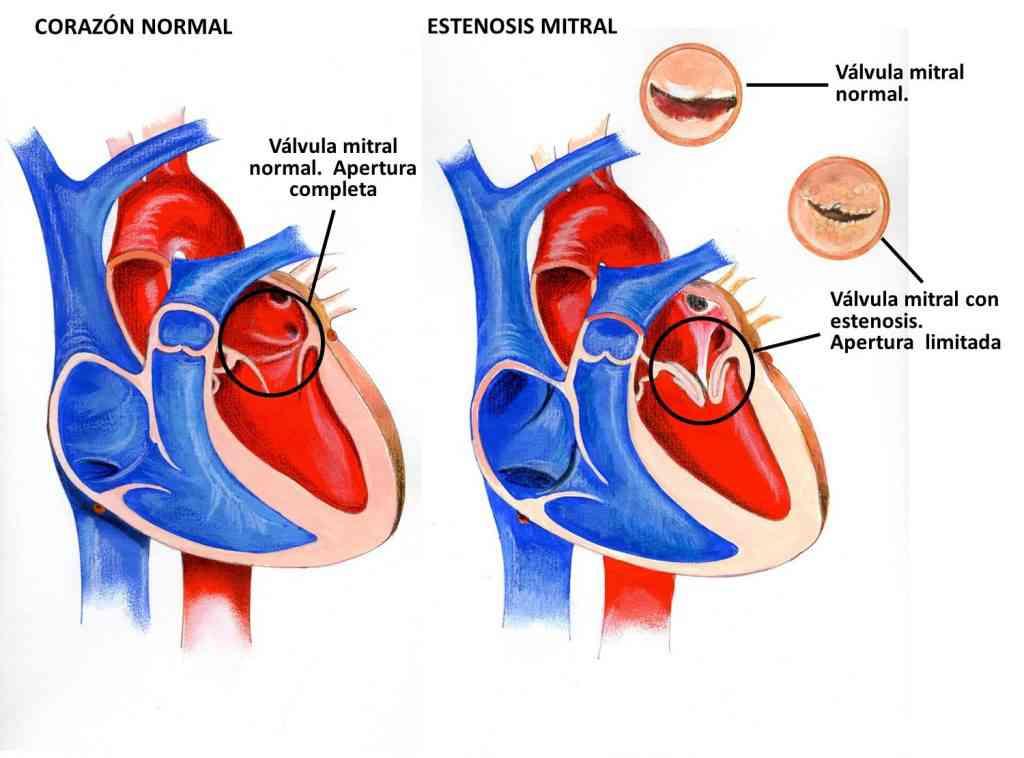 Partes del corazón humano