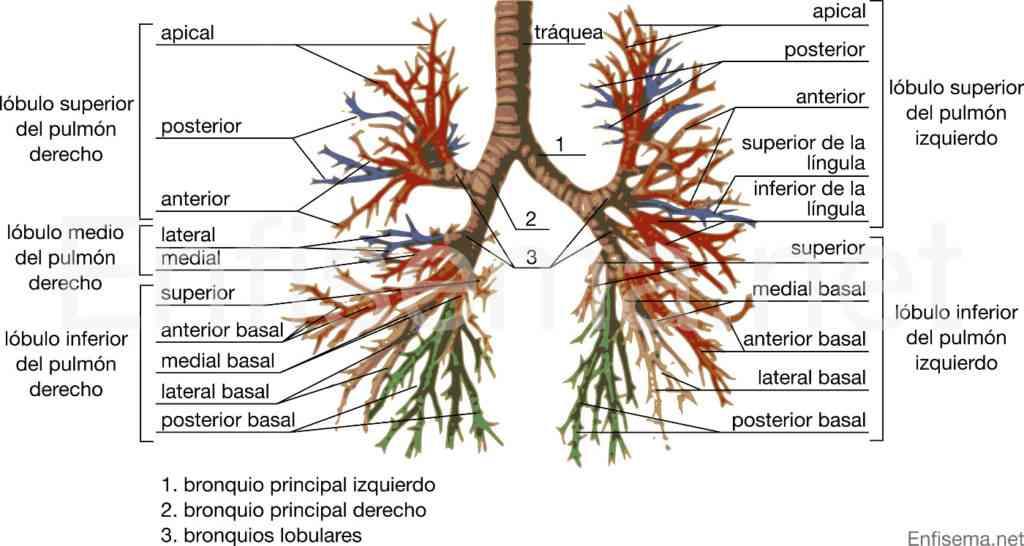 Partes del aparato respiratorio for Imagenes de las partes del arbol