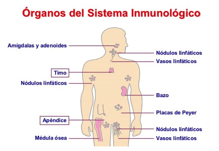 Partes del sistema inmunológico