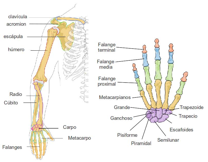 Partes del esqueleto del ser humano