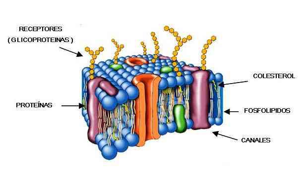 Partes De La Membrana Celular