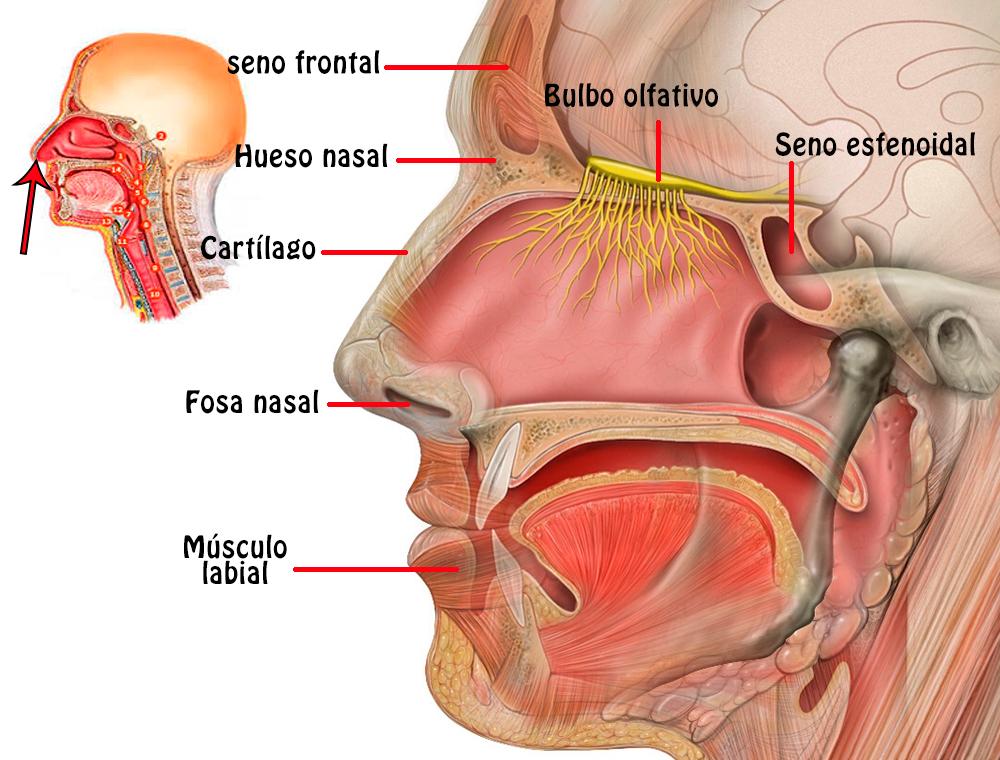 Partes externas del cuerpo humano