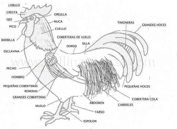 Partes de la gallina