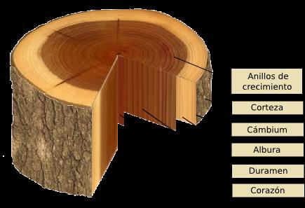 Cuales son las partes de la madera for Cuales son las partes de un arbol