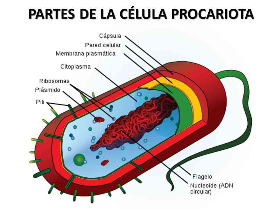 Partes de la célula procariota