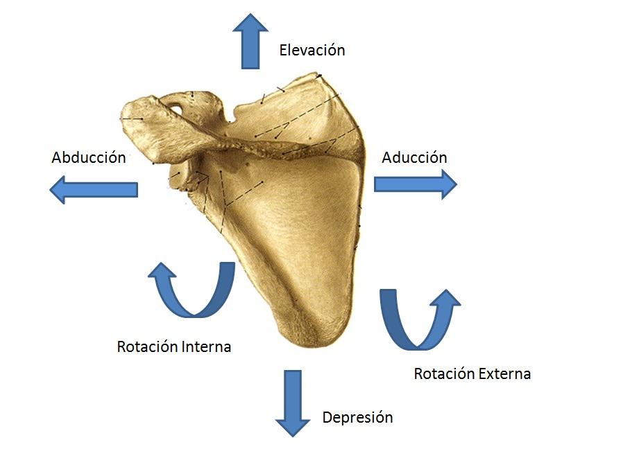 Partes de la escápula