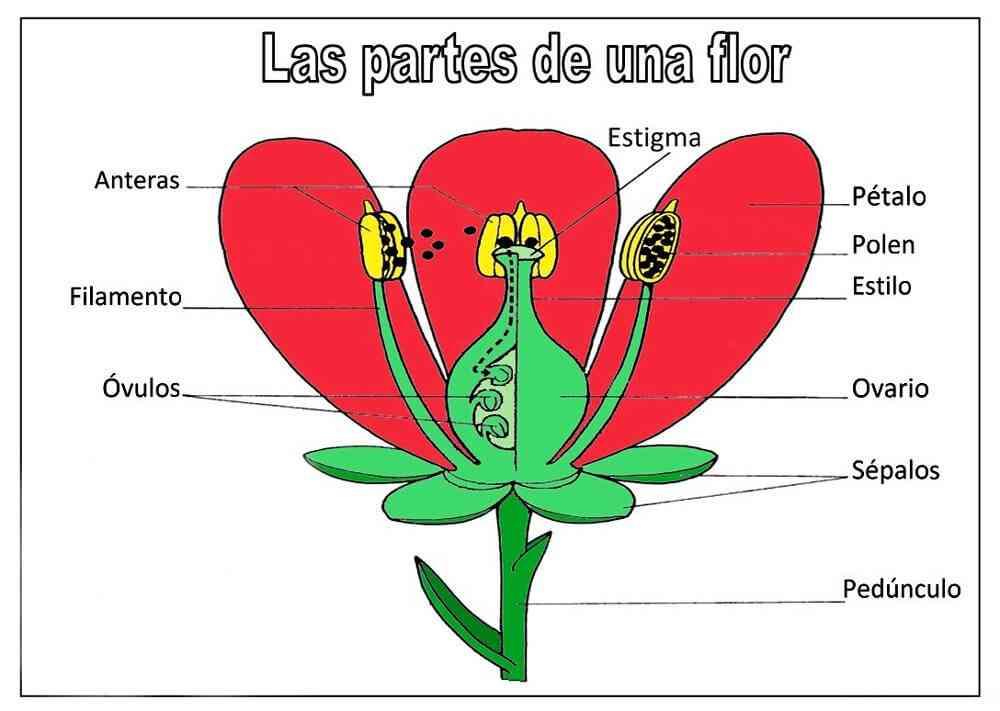 las partes de una flor