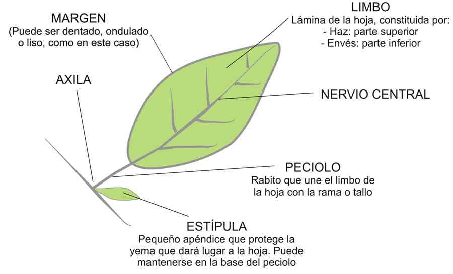 Partes de la hoja de una planta for Un arbol con todas sus partes