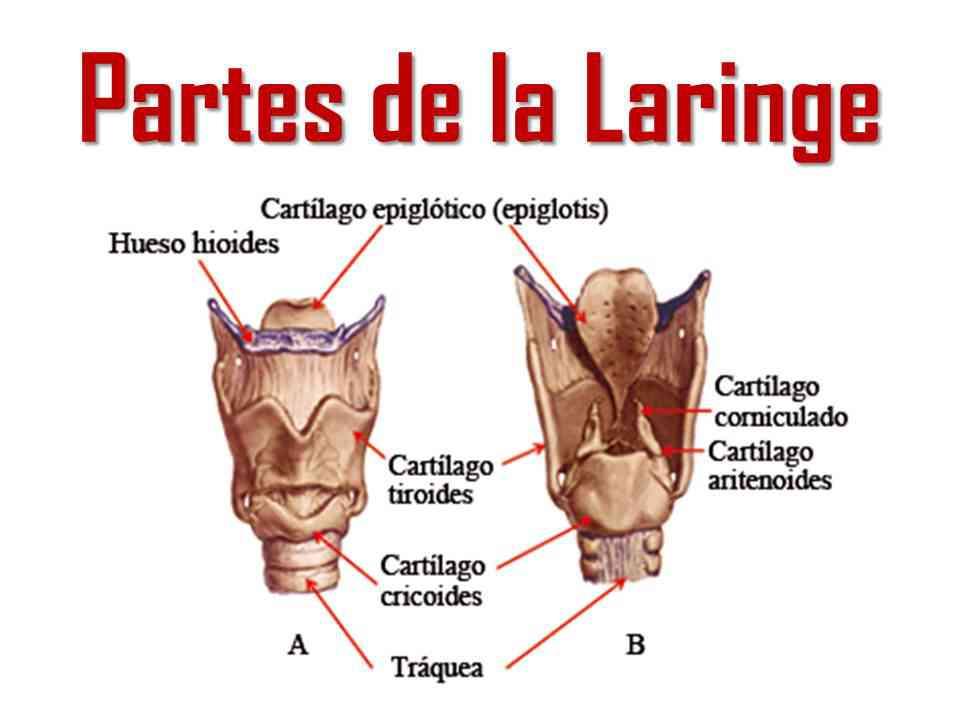 partes-de-la-laringe.jpg