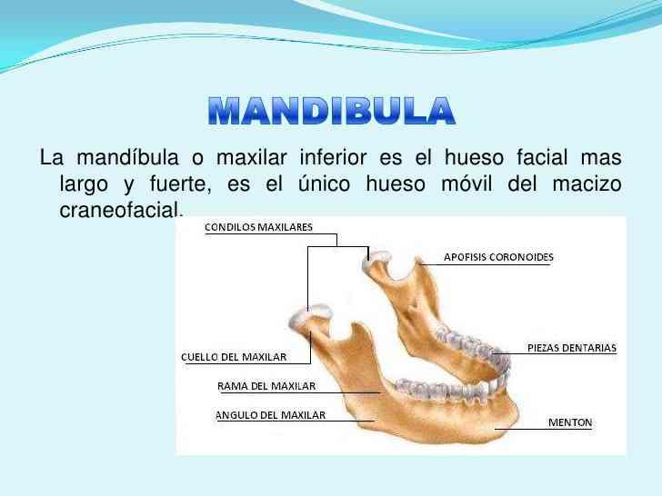 Lujoso Anatomía Hueso De La Mandíbula Colección - Anatomía de Las ...