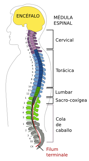 Partes de la médula espinal