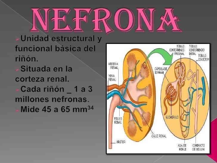 Partes de la nefrona for En k parte del cuerpo estan los rinones