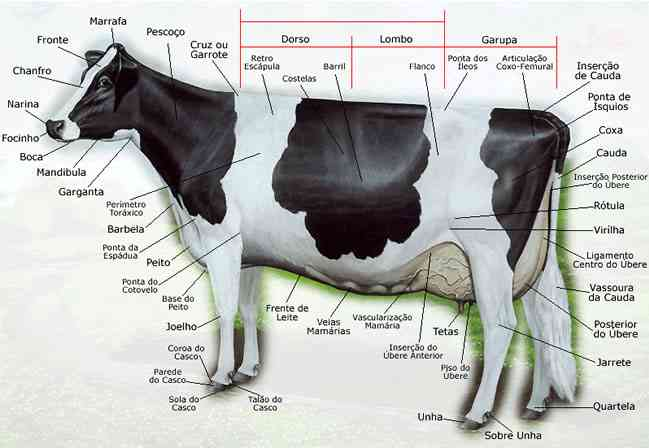 Partes de la vaca