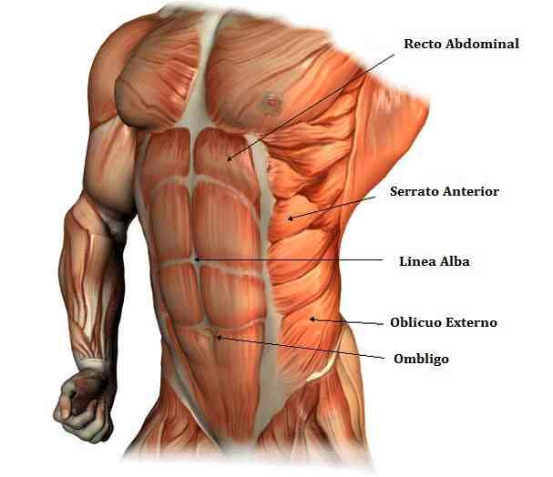 partes-del-abdomen.jpg