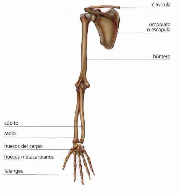 Partes del brazo humano
