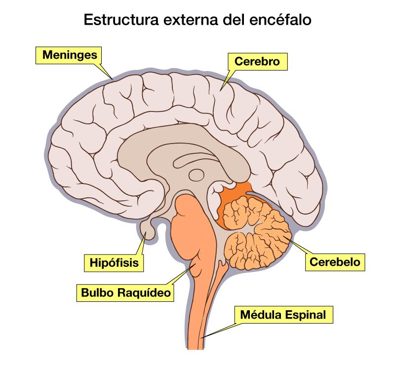 Partes del Encéfalo