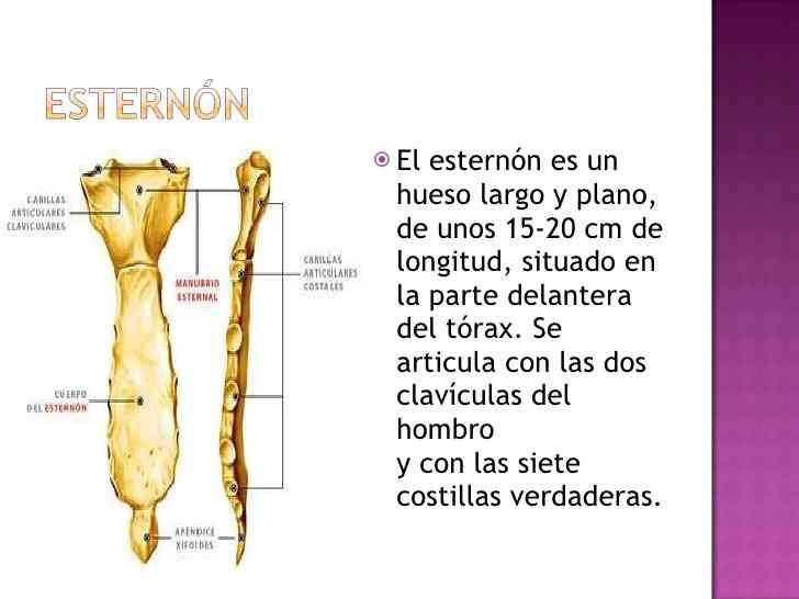 Partes del esternón