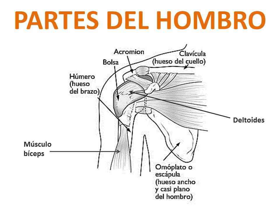 Partes del hombro