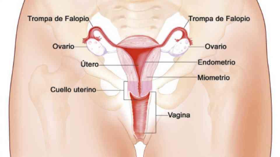 Partes del órgano reproductor femenino