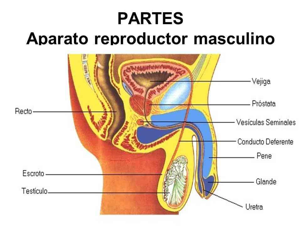 Partes del órgano reproductor masculino