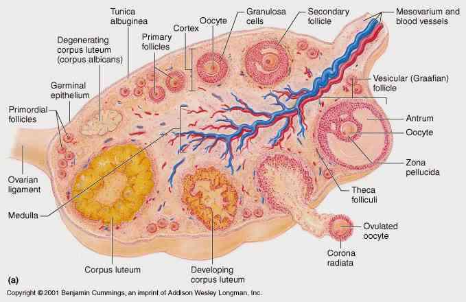 Partes del ovario