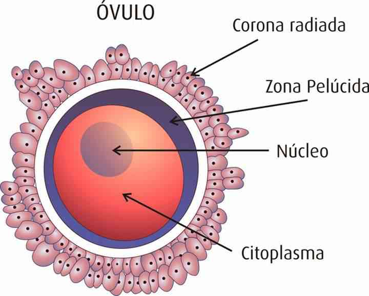 Partes Del óvulo